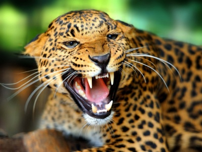 Leopard Wild Cat Growl (click to view)