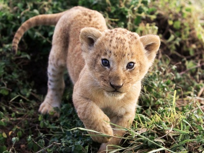 Lion Cub Lion Animal (click to view)