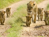 Lioness With Her Cubs