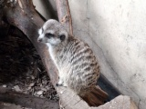 Log Meerkat Suricate Head Zoo