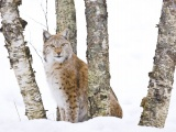 Lynx Cold Snow Cat