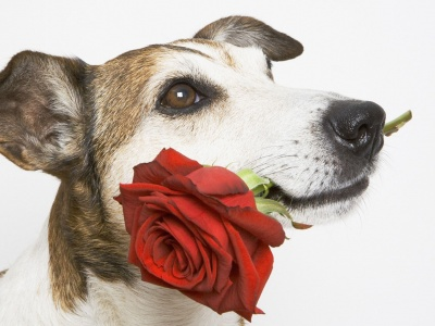 Mouth Dog Flower Rose (click to view)