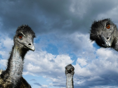 Ostrich (click to view)