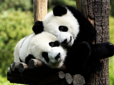 Pandas (click to view)