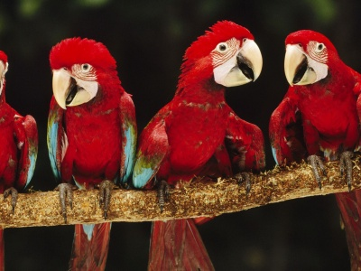 Parrot Plumage Branch Bird