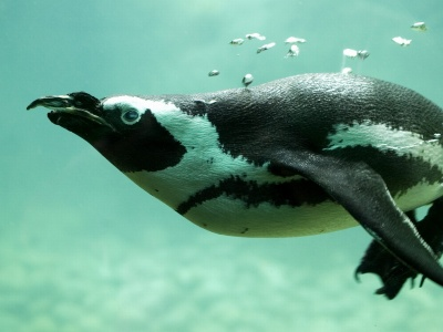Penguin Swimming (click to view)