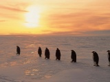Penguins On Ice Sunrise Snow