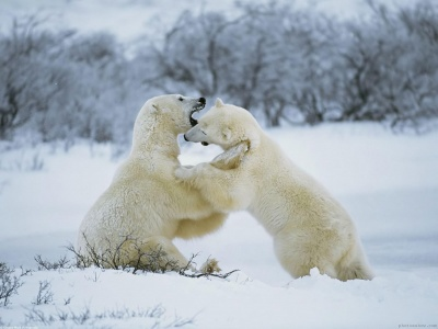 Polar Bear 1 (click to view)