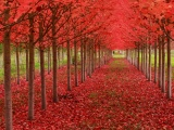 Red Autumn Trees