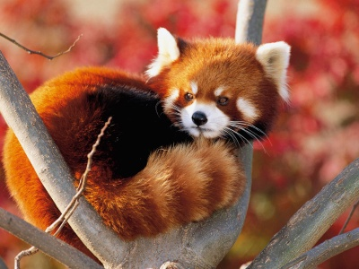 Red Panda Fluffy Animal Cute (click to view)