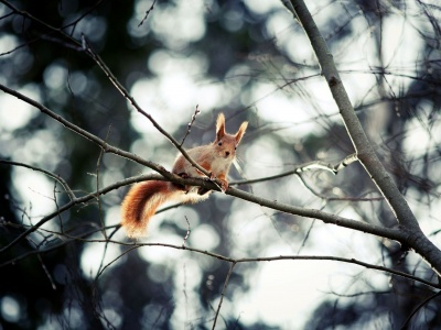 Red Squirrel (click to view)