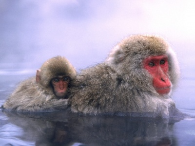 Relaxing Hot Springs Japanese Snow Monkey (click to view)