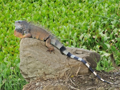 Reptile Lizard Tail Iguana Stone (click to view)