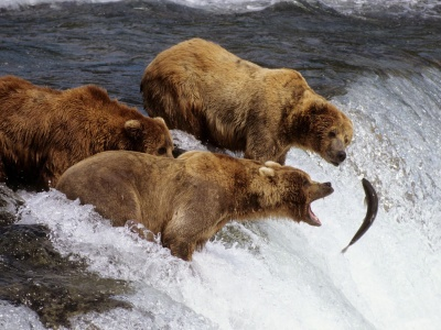 River Fish Stream Bear Fishing