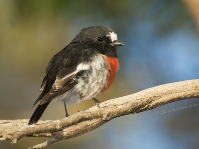 Scarlet Robin (click to view)