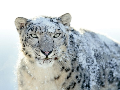 Snow Leopard (click to view)