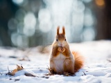 Squirrel And Winter