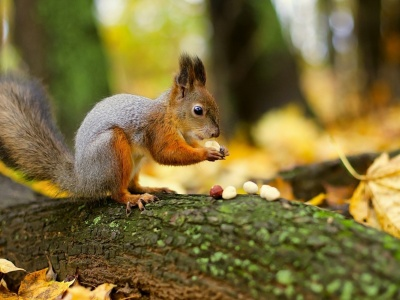 Squirrel Nuts Autumn (click to view)