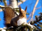 Squirrel On Branches Snow