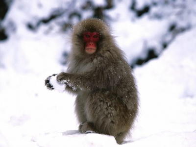 Starting A Snowball Fight Japanese Snow Monkey (click to view)
