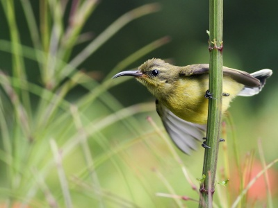 Sunbird On Branch (click to view)