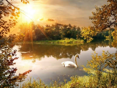 Swan On The Lake In Autumn (click to view)