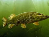 The Northern Pike