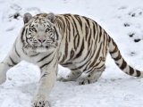 Tiger Albino Snow Winter