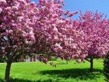 Trees In Blossom Pink Flowers