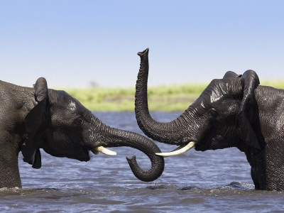 Two Elephants Talking