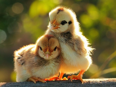Two Lovely Chicken Sunshine Spring (click to view)