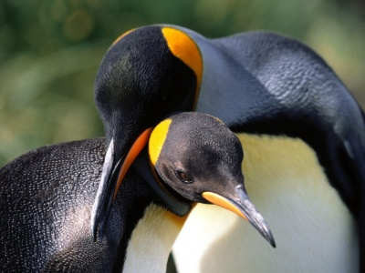 Whispering Sweet Nothings King Penguins (click to view)