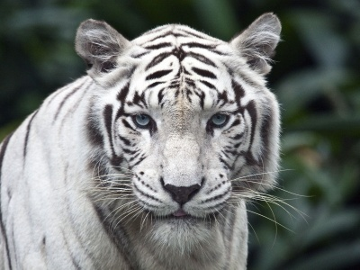 White Bengal Tiger (click to view)