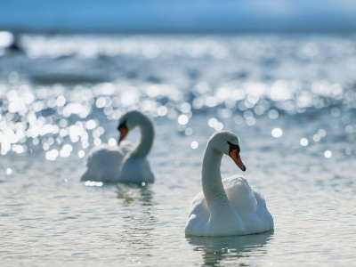 White Swans (click to view)