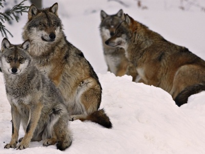 Wolf Pack (click to view)
