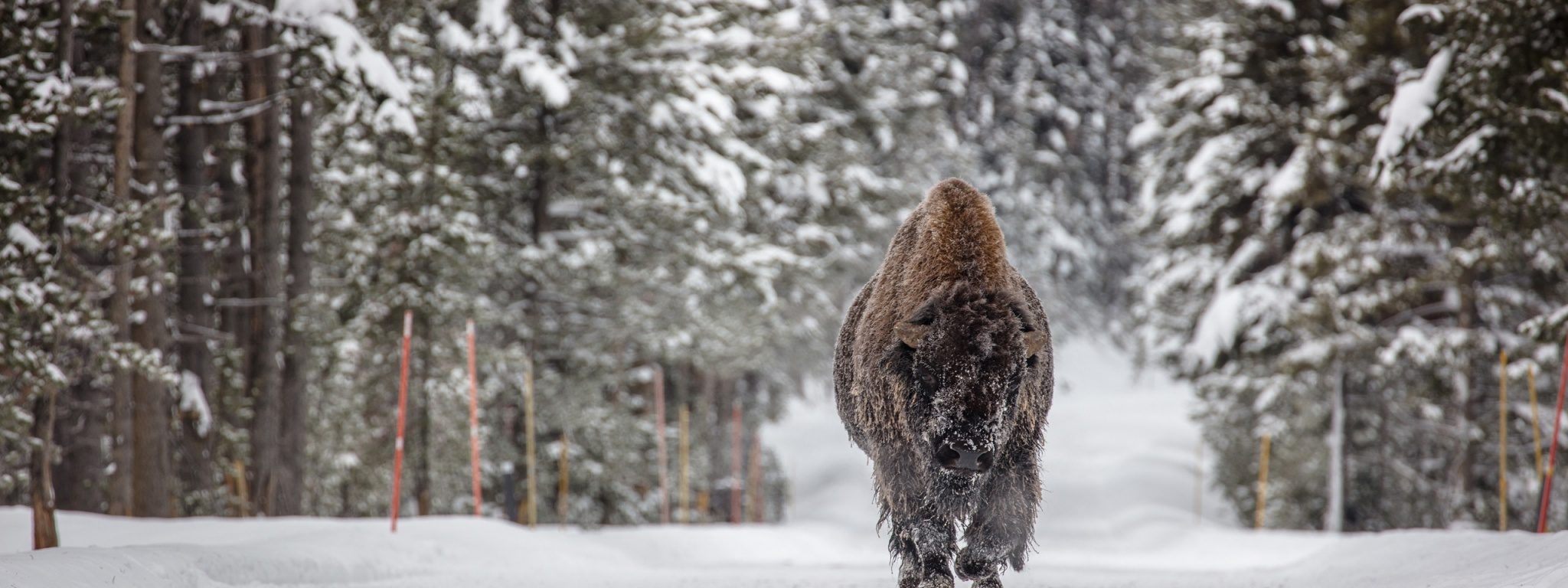 Forests Winter American Bison