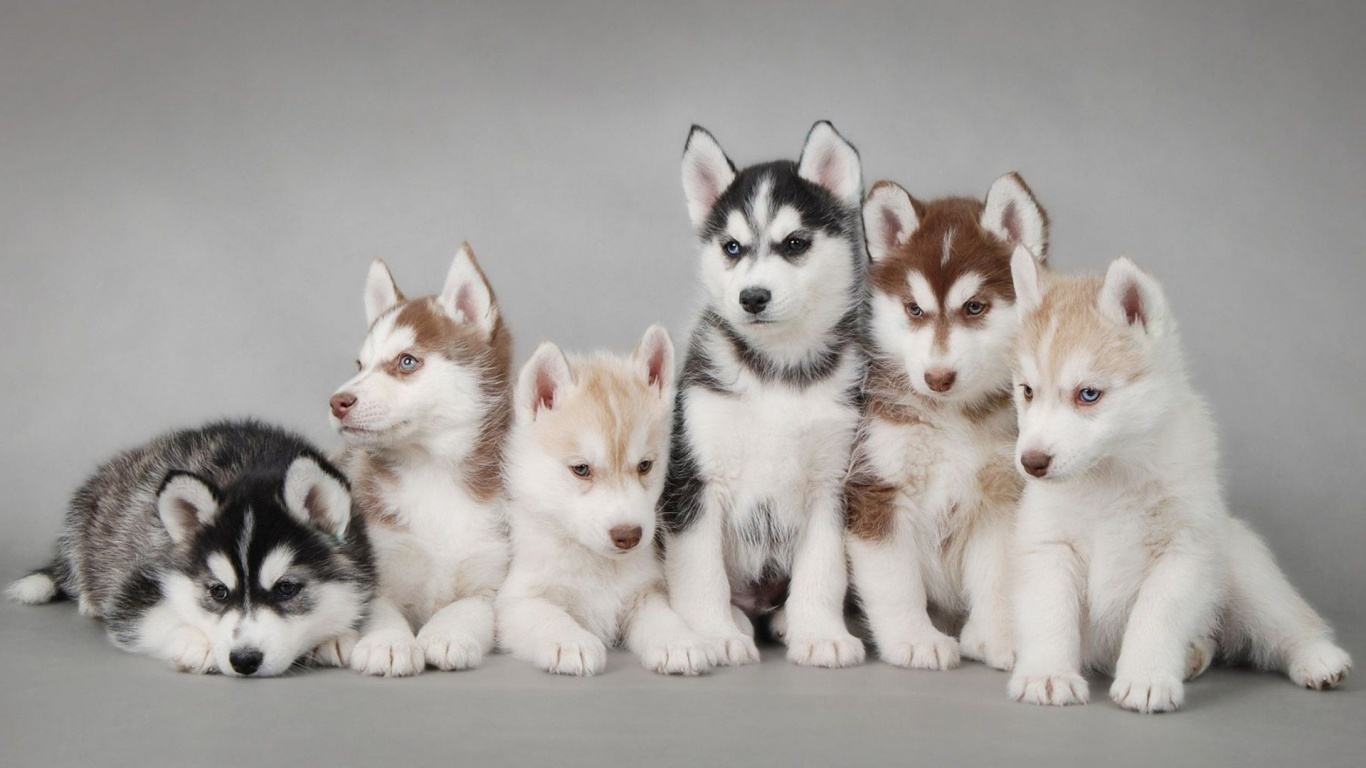 Husky Puppy Cute Animal