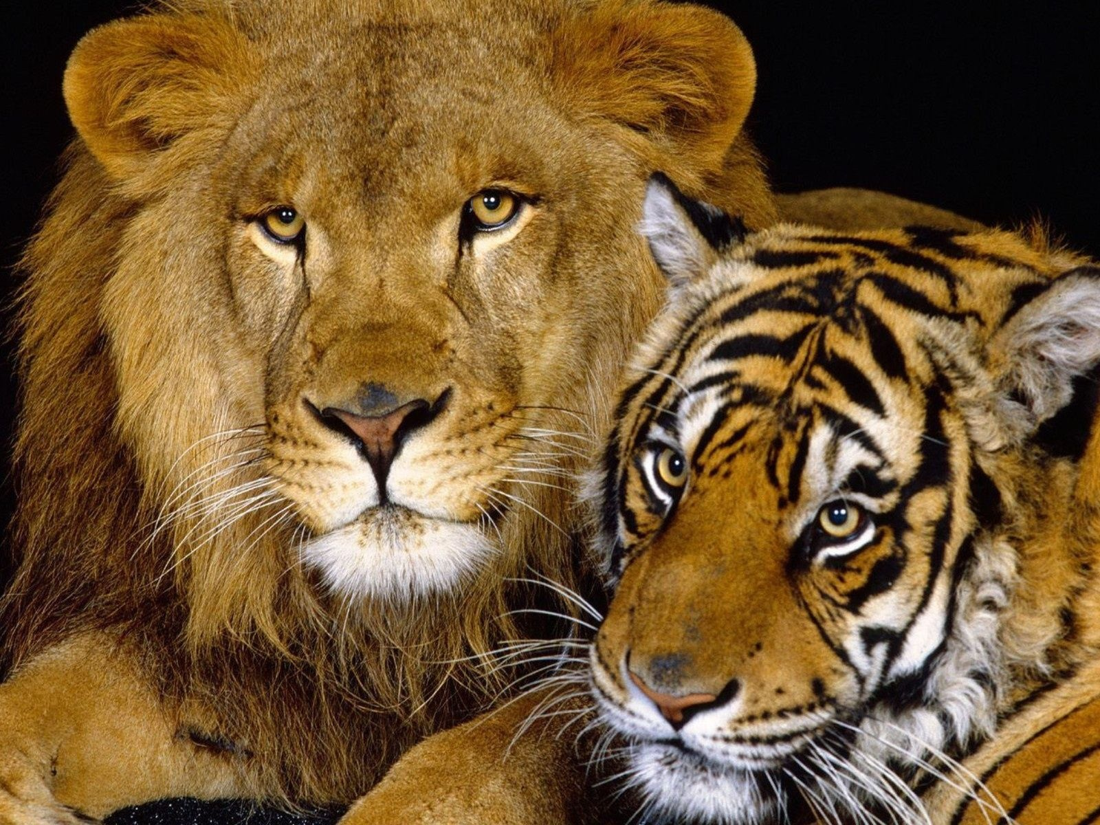 Tiger And Lion1